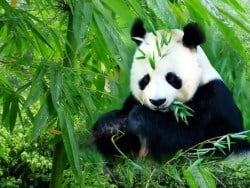 chengdu-panda-tour1